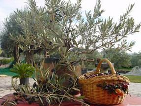 champ-d-oliviers.jpg